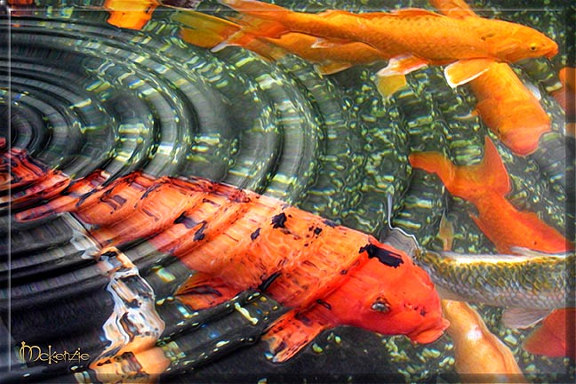 Small koi fish pond car interior design for Giant coy fish